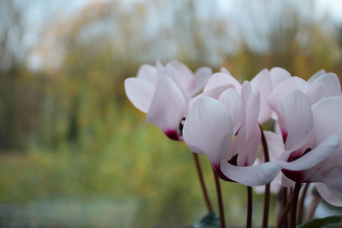 Rosefarbene Alpenveilchen vor Herbstlandschaft