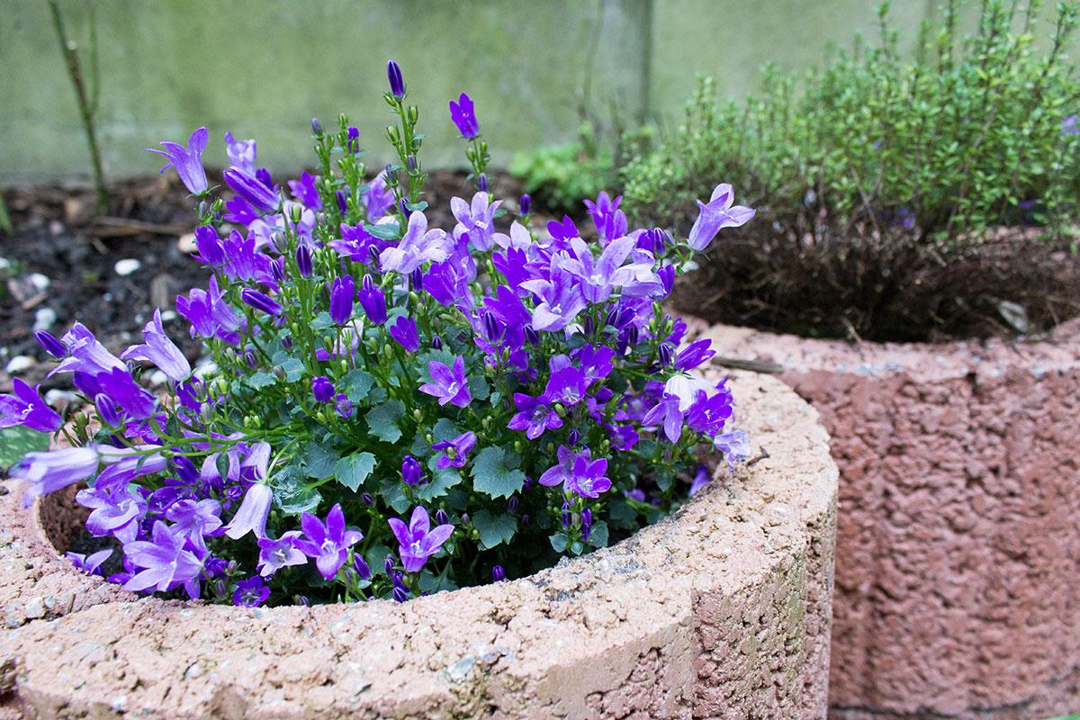 Glockenblumen in einem Garten