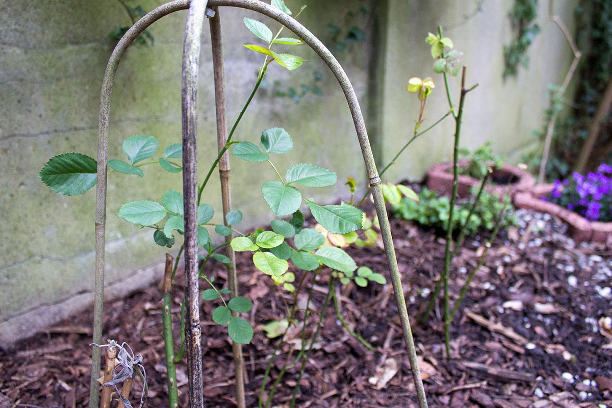 Austreibende Rosen in einem Garten
