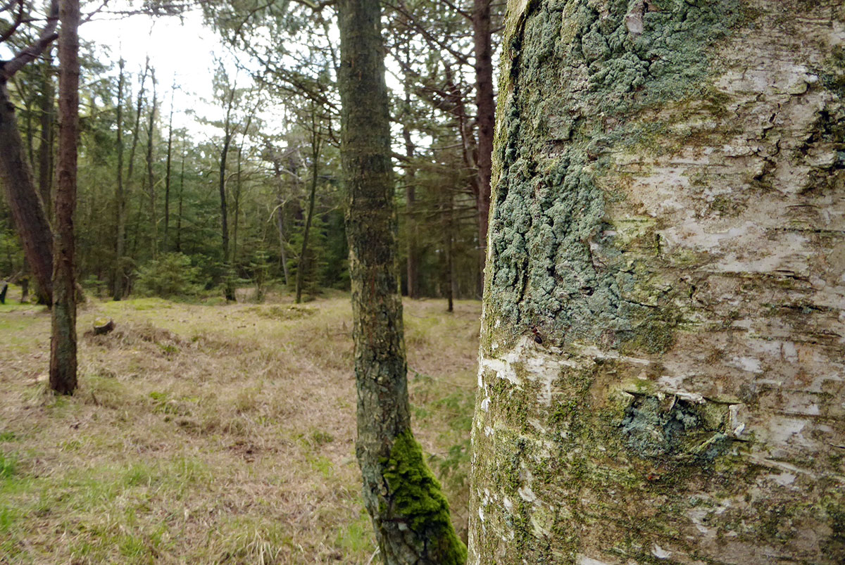Küstenwald St. Peter-Ording Kiefernbestand