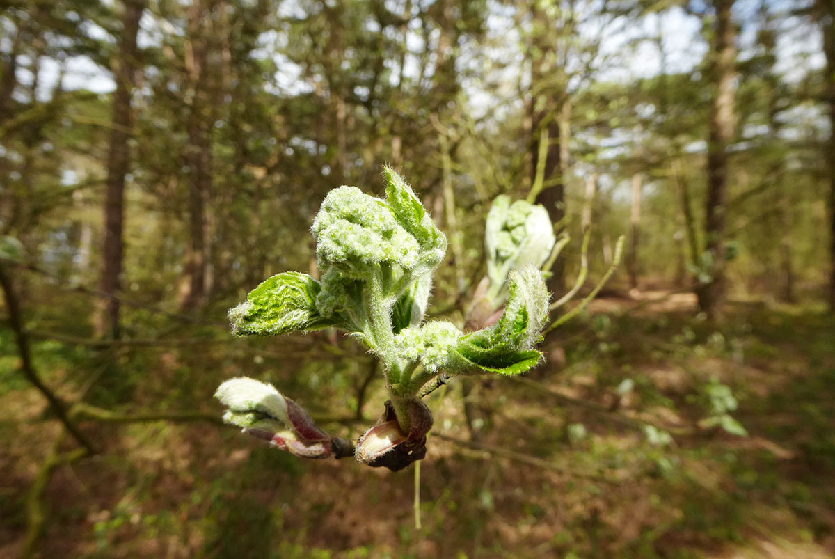 Küstenwald St. Peter-Ording Blütenblätter