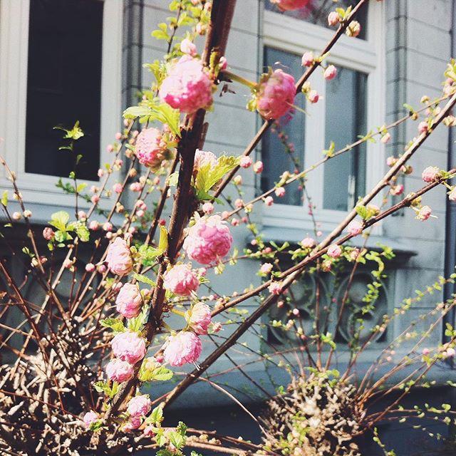 Ein blühender Kirschblütenzweig vor einer Altbaufassade