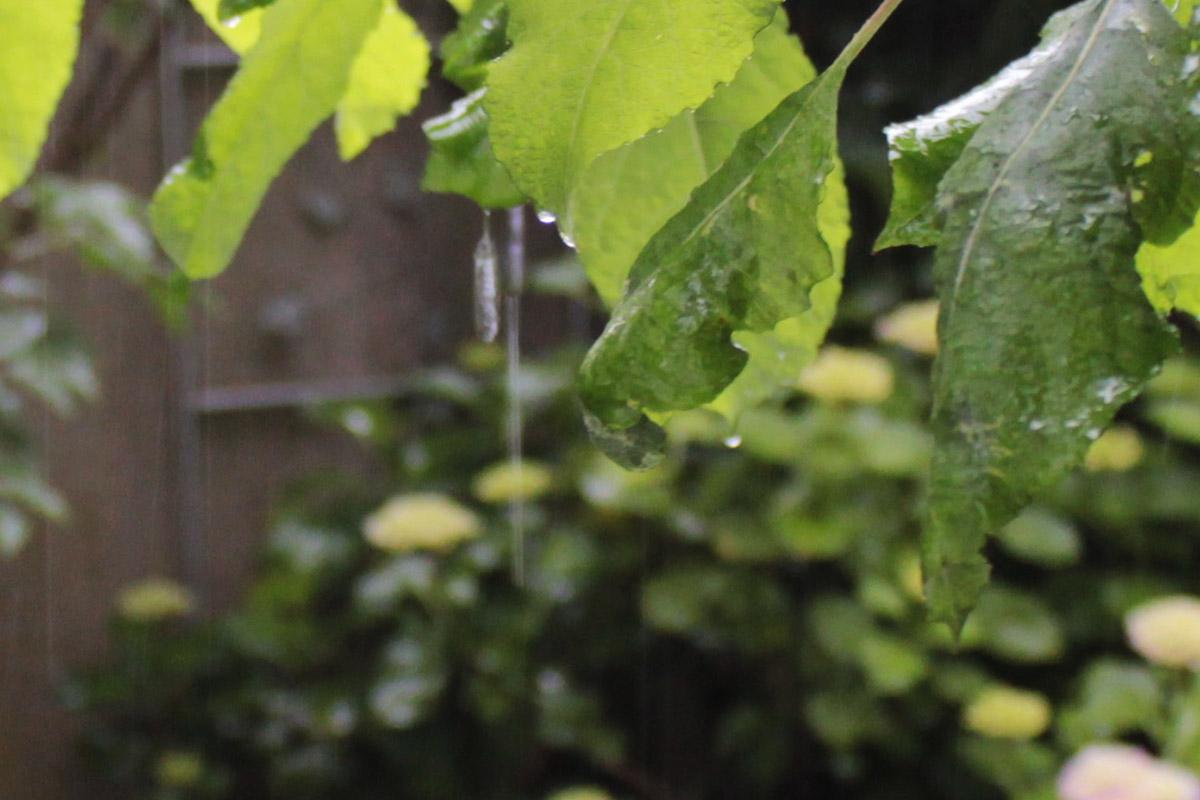 Regen tropft von Blättern