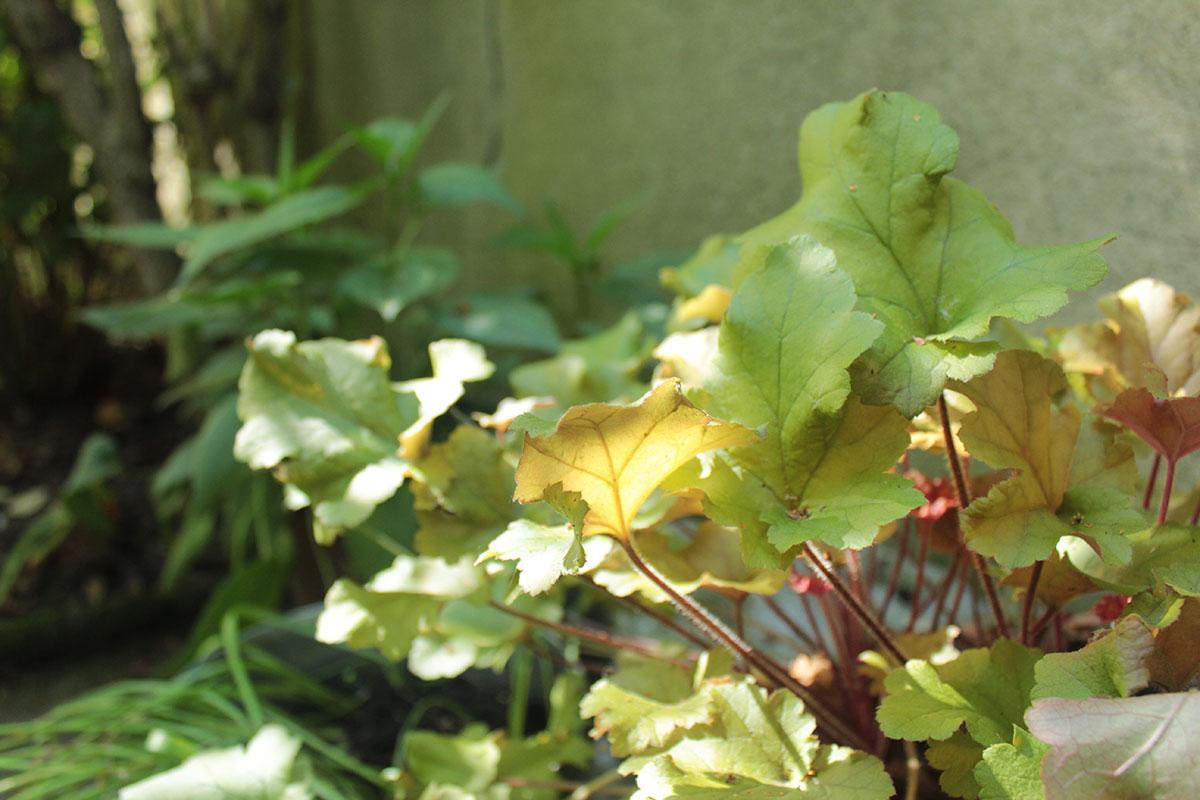 Heuchera in einem Garten