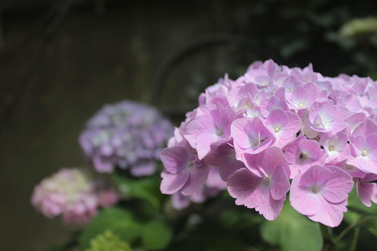 Hortensien blühend in einem Garten