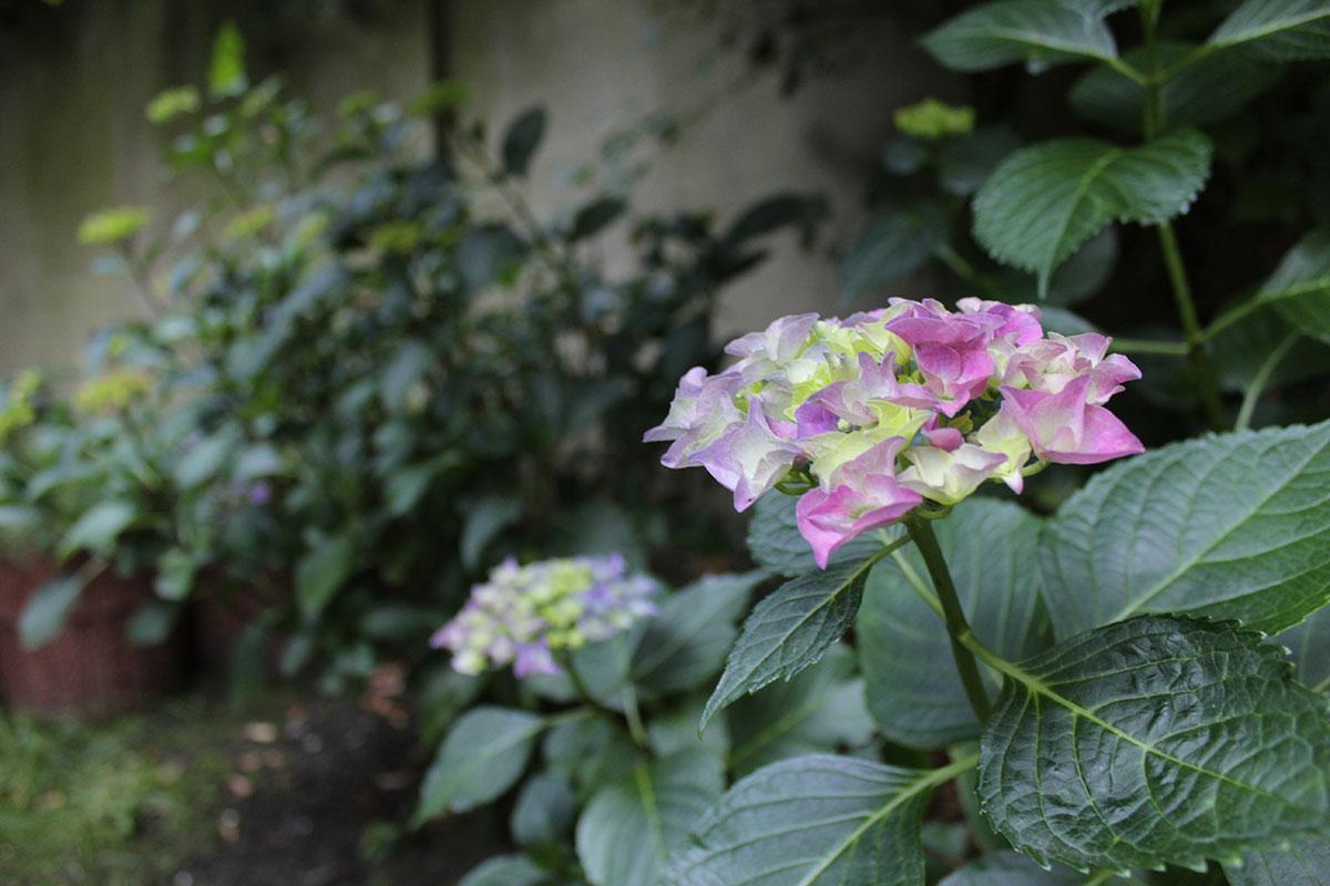 Eine pinkfarbene Hortensie fängt langsam an zu blühen
