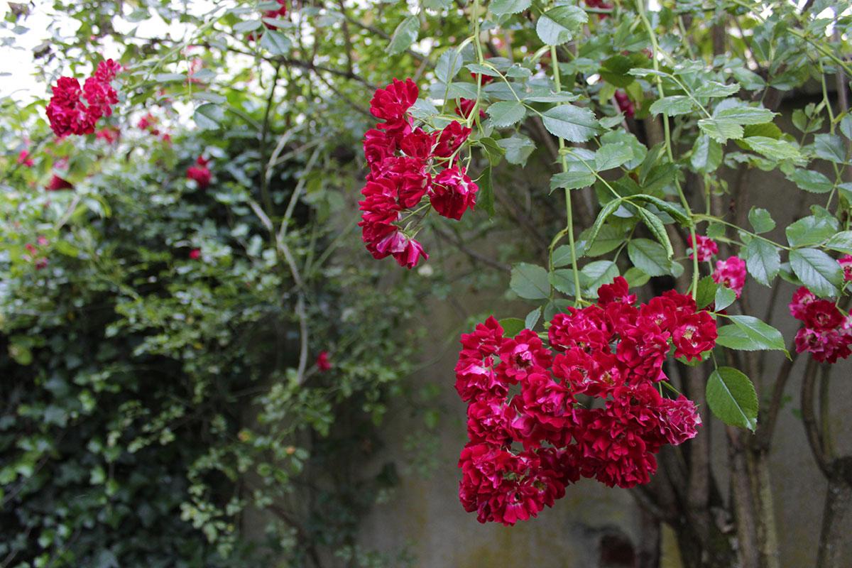 Eine rote Kletterrose in voller Blüte