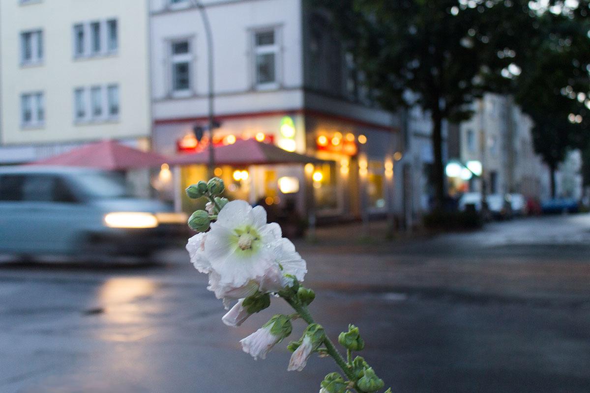 Im Vordergrund vor einer Straßenszen im Abendlicht eine Stockroseaufgenommen im Klinikviertel Dortmund