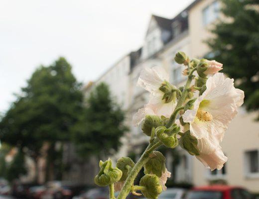 Stockrose vor Häuserfassaden aufgenommen im Klinikviertel Dortmund