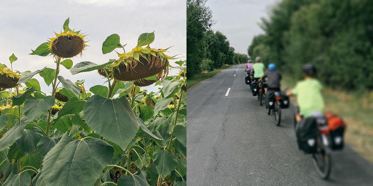 Fotocollage Ein Feld mit Sonnenblumen, auf der anderen Seite vier Radfahrer auf einer Straße