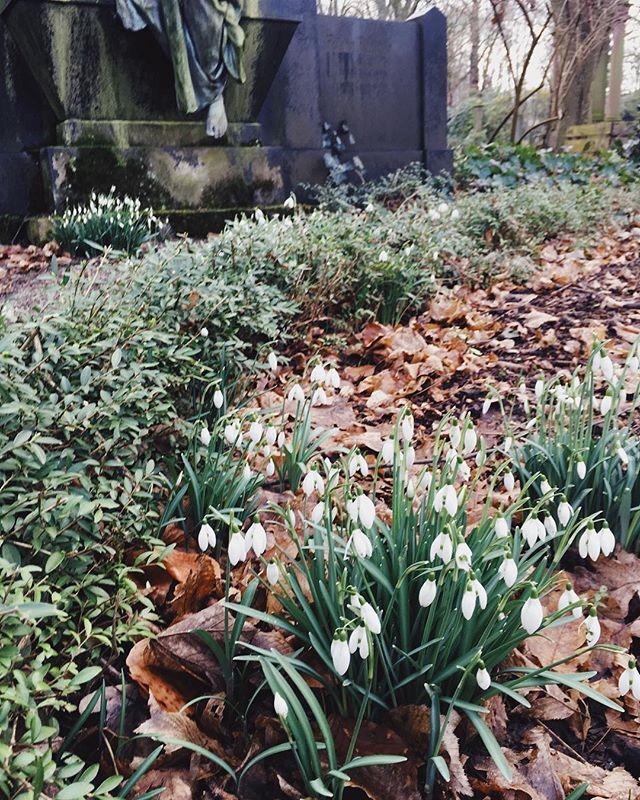 Schneeglöckchen auf einem Friedhof