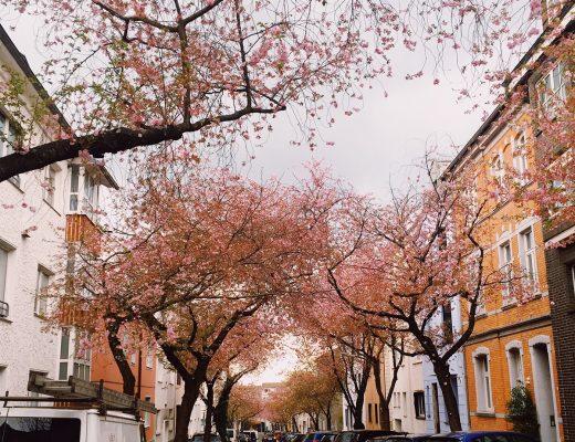 Kirschblüte in der Moltkestraße in Dortmund