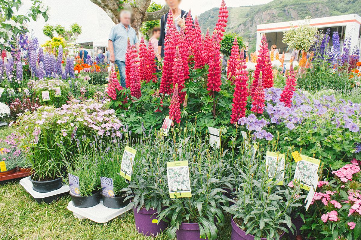 Ein buntes Blumenbeet aus Lupinen und Malven
