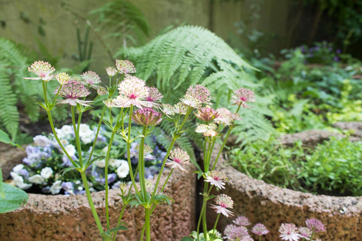 Astratiablüten vor einem Blumenbeet mit Campanula und Farn