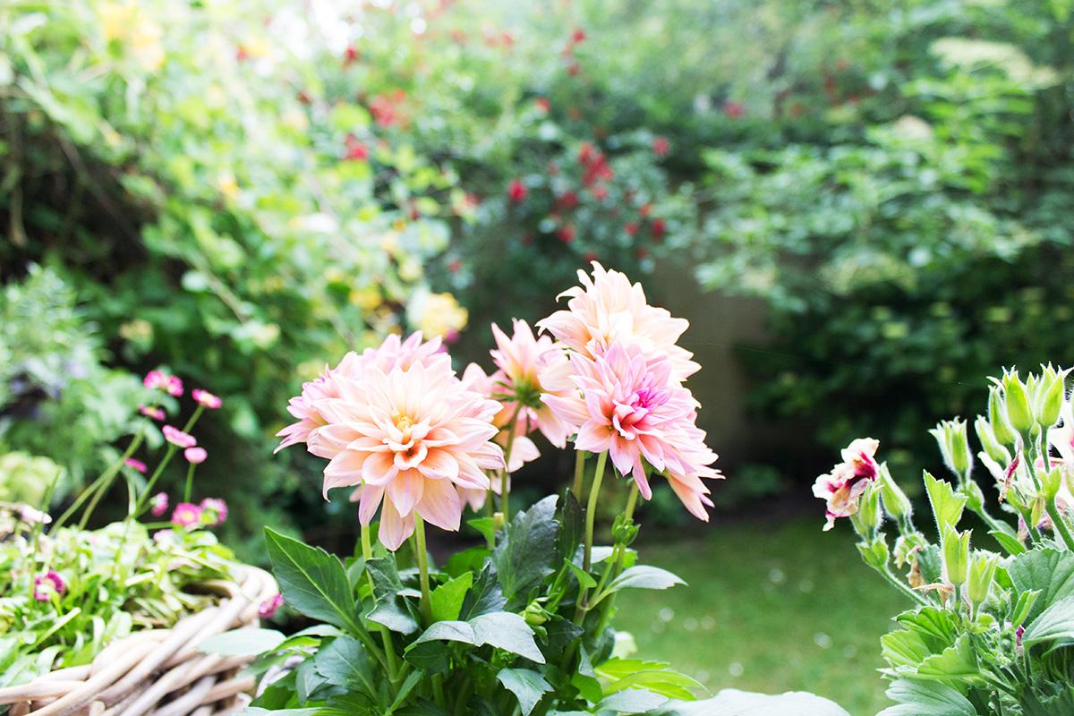 Gartenansicht mit einer pinkfarbenen Dahlie im Vordergrund