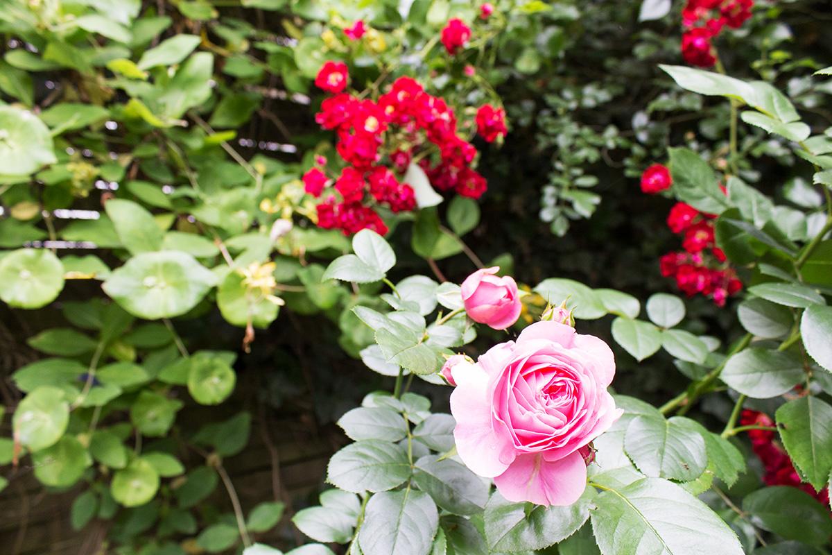 Eine rosafarbene Rose vor einer roten Kletterrose