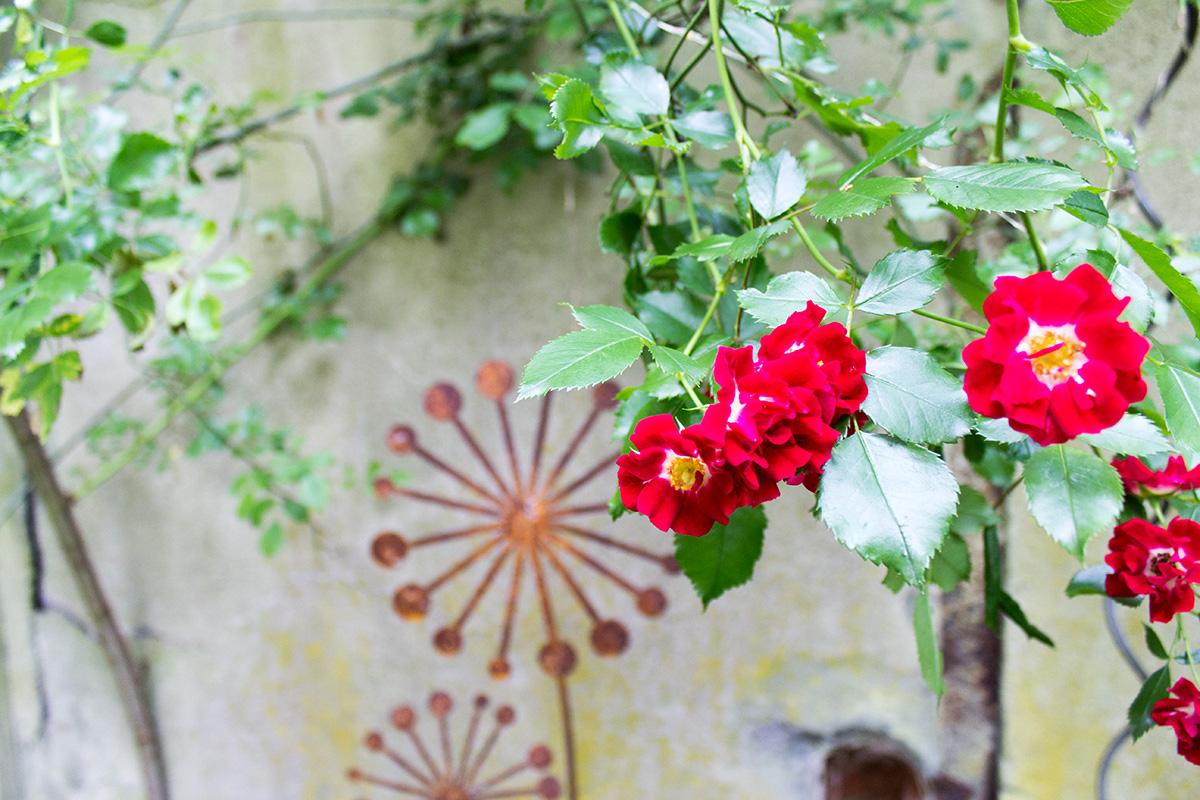 rote Kletterrose vor einem rostigen Garten-Dekoelement
