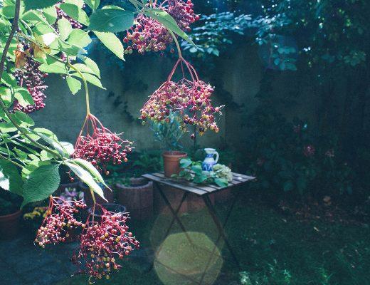 Ein Ausschnitt aus einem Garten – reife Holunderbeeren