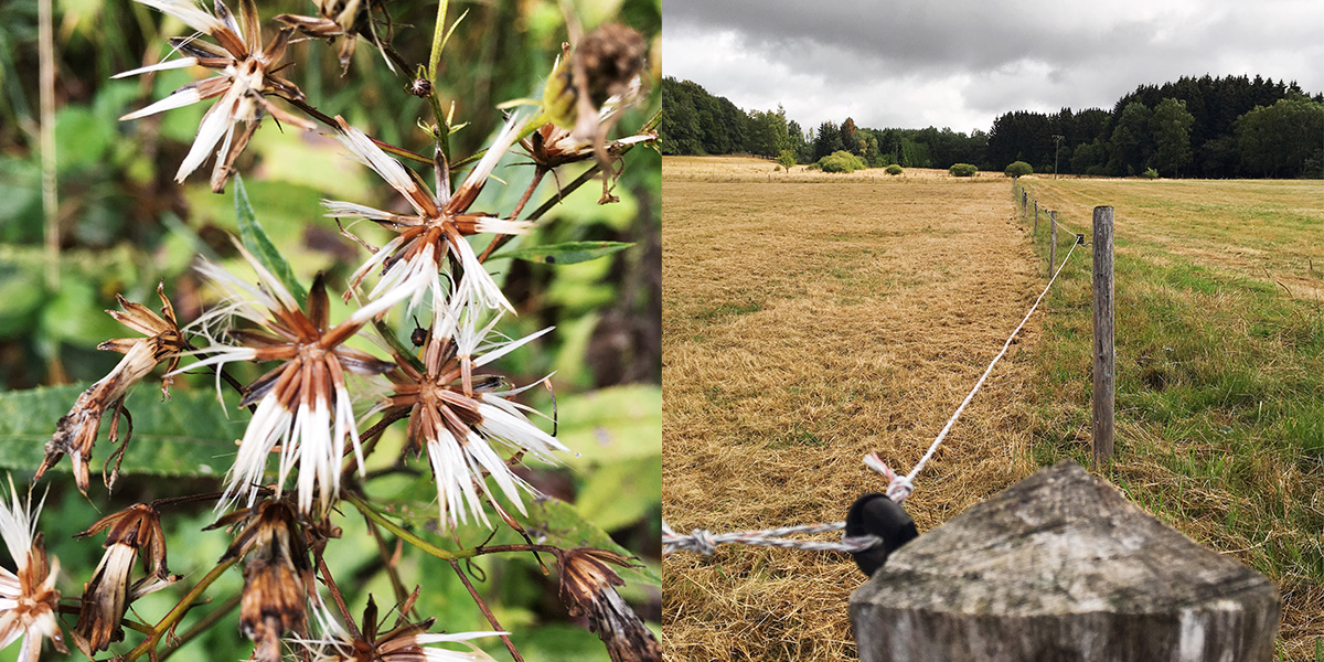 Foto Blütenstände und Blick auf eine Kuhweide im Westerwald