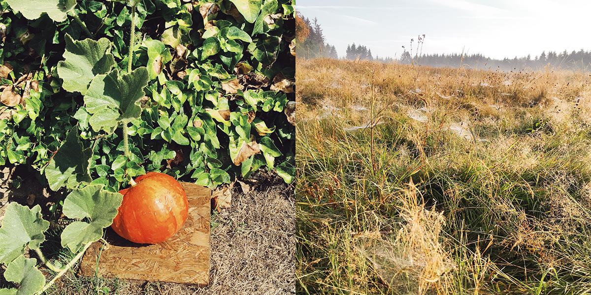 Foto Ein orangefarbener Kürbis und Morgentau in einer Wiese auf dem Westerwaldsteig