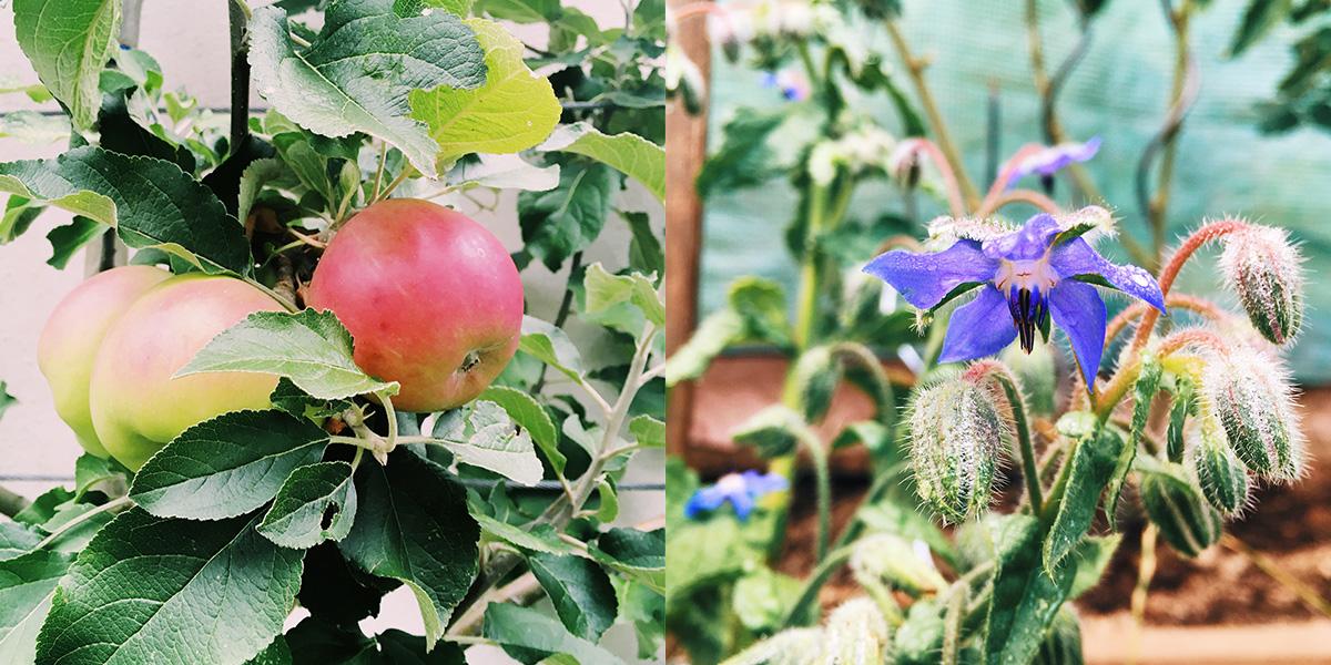 Foto Spalierobst-Äpfel und eine Borretschblüte