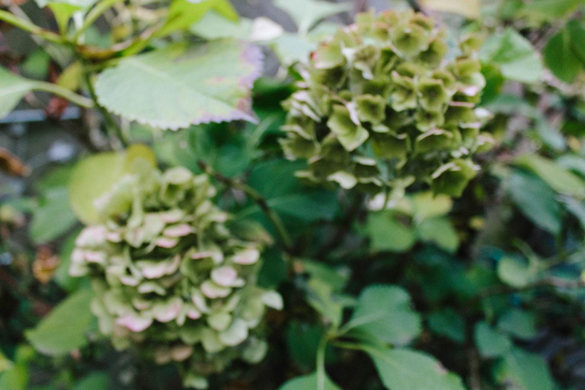 Herbstfgarten – Hortensien unscharf