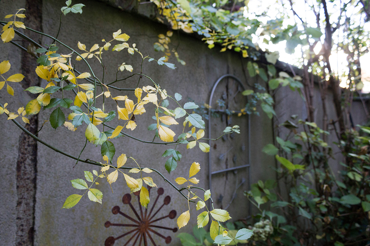 Herbstgarten - gelb färbende Rose
