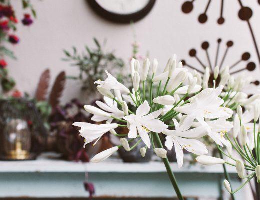 Blühender Agapanthus